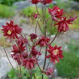 Caldarusa-Aquilegia vulgaris Double Rubies