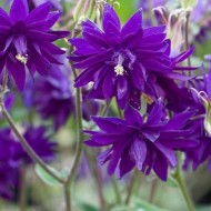 Caldarusa-Aquilengia vulgaris Blue Barlow