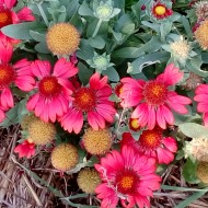 Gaillardia Aristata Arizona Red