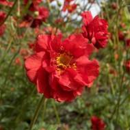 Geum chiloense-Trandafirul Chilian Mrs. Bradshaw