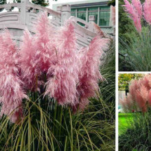 Iarba de pampas roz