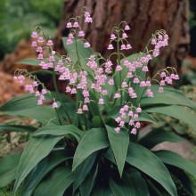 Lacramioara Roz-Convallaria majalis