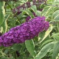 Liliac de vara-Buddleja Davidii Harlequin