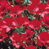 Linum Scarlet Flax-In decorativ rosu