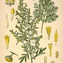 Pelin Alb-Artemisia absinthium