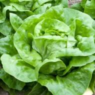 Salata verde Butterhead