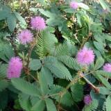 Sensitiva-Mimosa pudica