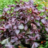 Shiso red