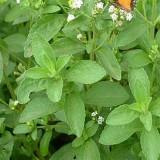 Ștevia dulce-Stevia rebaudiana