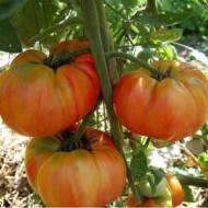 Tomate Old German