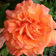 Trandafir Doris Tysterman