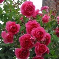Trandafir Parade