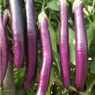 Vinete Long Purple