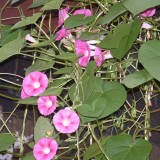 Zorele-Ipomoea Candy Pink