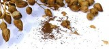 Nicotiana alata-Regina noptii Tinkerbell F2