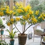 Acacia dealbata-Mimoza