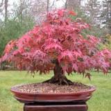 Artar japonez-Acer palmatum atropurpurea