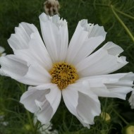Cosmos Pied Piper Blush White