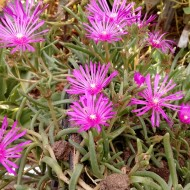 Delosperma Cooperi-Floarea de cristal