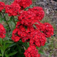 Dianthus barbatus-Garoafa turceasca Scarlet Beauty