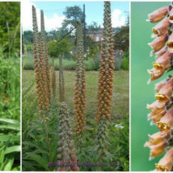Digitalis Parviflora Milk Chocolate