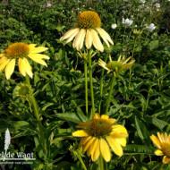 Echinaceea Purpurea Mellow Yellow