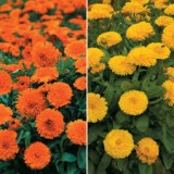 Galbenele-Calendula double mix