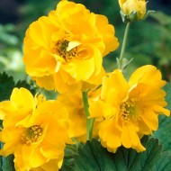 Geum Chiloense Lady Stratheden