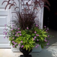 Iarba decorativa Pennisetum Setaceum Rubrum