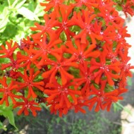 Lychnis chalcedonica red