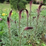 Lysimachia Atropurpurea Beaujolais