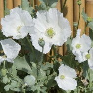 Mac Somniferum Sissinghurst White