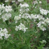 Mountain Mint-Pycnanthemum mix