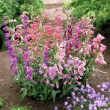 Penstemon mix