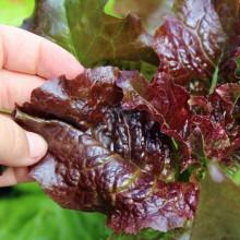 Salata Rossa Ricciolina