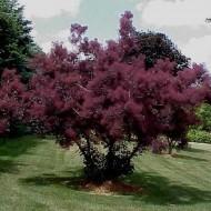 Scumpia-Cotinus cogg.Royal Purple