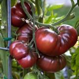 Tomate Black Krim