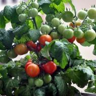 Tomate cherry Minibel