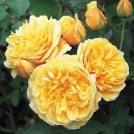 Trandafir englezesc Graham Thomas