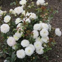 Trandafir Pitic White Fairy
