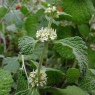 Unguras-Marrubium vulgare
