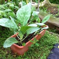 Varza Chinese Kale-Large Leaf
