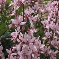 Frasinel-Dictamnus albus