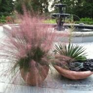 Iarba decorativa Muhlenbergia Capillaris Pink