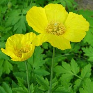 Mac Meconopsis Cambrica Yellow