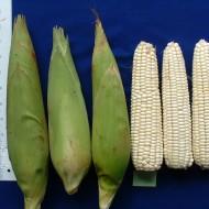 Porumb White Corn