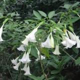 Brugmansia suaveolens White