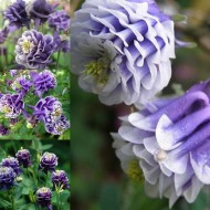 Caldarusa-Aquilegia vulgaris Winki double blue & white