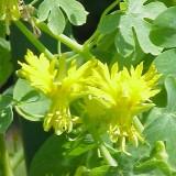 Canary creeper-Tropaeolum peregrinum