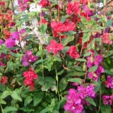 Clarkia double mix